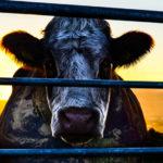 ヴィーガンは世界を救う?ドキュメンタリー映画「Cowspiracy:サステイナビリティ(持続可能性)の秘密」